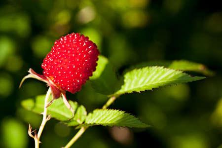 rubus: Rubus illecebrosus, red-fruited species of Rubus
