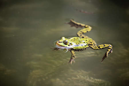 Edible Frog (Rana esculenta) swimming in the water Stock Photo