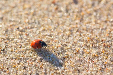 septempunctata: Seven-spot ladybird (Coccinella septempunctata) on the sand