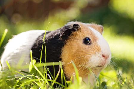 pig nose: Guinea pig (Cavia porcellus) is a popular household pet.