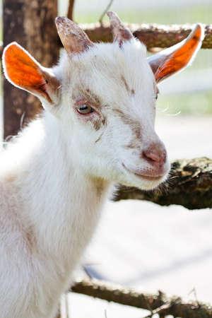 hircus: White domestic goatling (Capra aegagrus hircus) in the farm