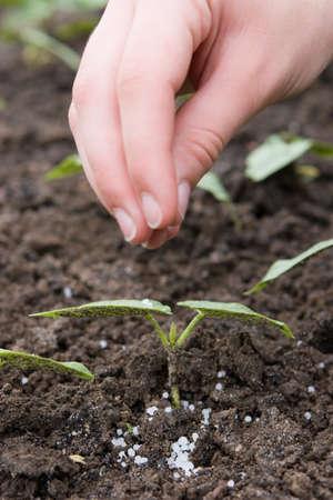 La fertilización con abonos granulados los jóvenes plántulas Foto de archivo - 32440360