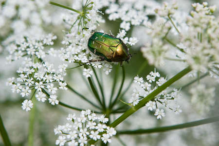 Rose chafer (Cetonia aurata) photo