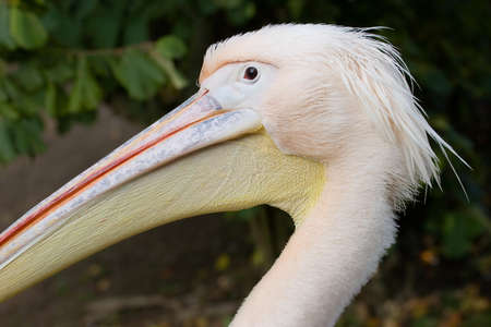 onocrotalus: White Pelican (Pelecanus onocrotalus) Stock Photo