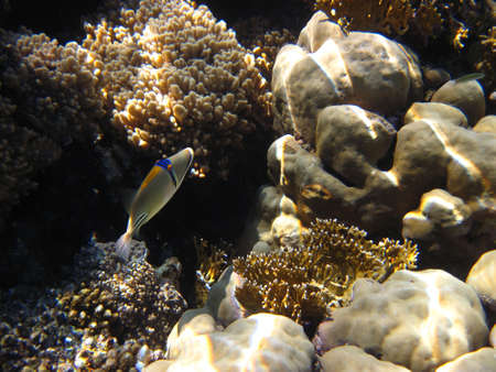 Arabian trigger fish (Rhinecanthus assasi) underwater in the Red Sea (Egypt) photo
