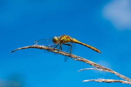 sympetrum: Red-veined darter (Sympetrum fonscolombii), female