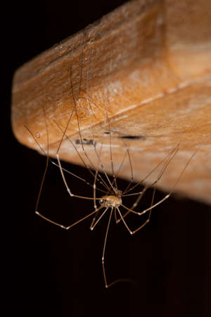 pholcus: Daddy-long-legs spider (Pholcus phalangioides) changes its skin Stock Photo