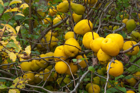 Japonica del Chaenomeles con frutas en otoño Foto de archivo - 32744997