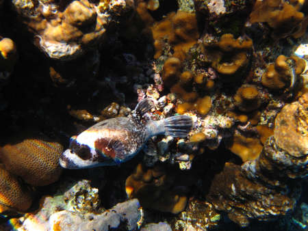 Masked puffer (Arothron diadematus)  underwater in the Red Sea (Egypt) photo