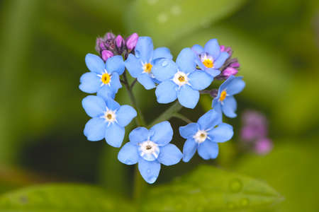 Field Forget-me-not (Myosotis arvensis) Stock Photo