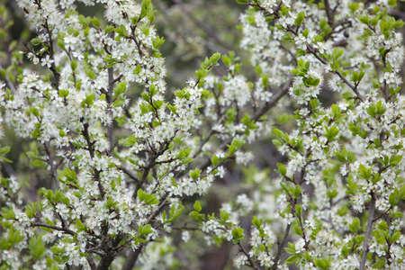 gean: A branch of sweet cherry (Prunus avium) with flowers