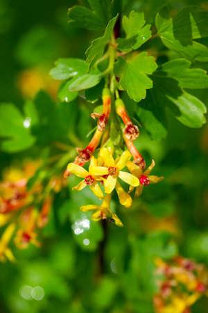 gooseberry bush: Blossoms of the gooseberry (Ribes uva-crispa) in the spring orchard