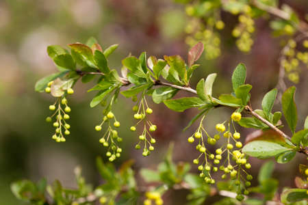 barberry: A branch of European barberry (Berberis vulgaris) with flowers