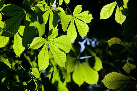 conker: Horse-chestnut or Conker tree (Aesculus hippocastanum) leaves Stock Photo