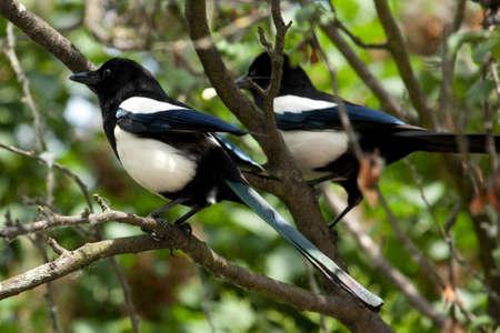 European Magpie, or Common Magpie (Pica pica) Stock Photo