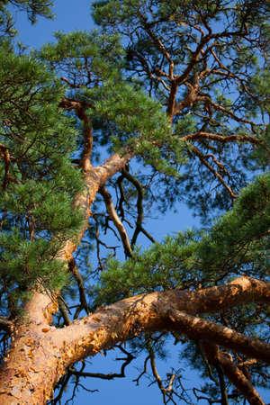 pinus sylvestris: Scots Pine (Pinus sylvestris) against blue sky