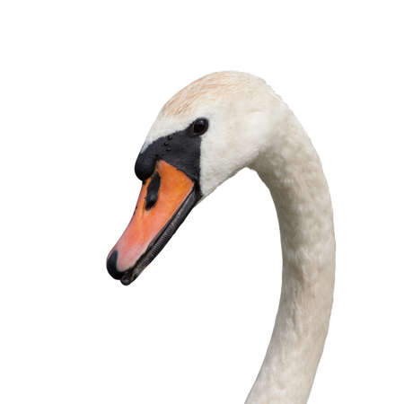 mute swan: Mute swan (Cygnus olor) isolated on white Stock Photo