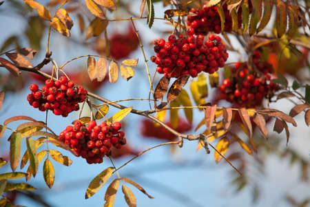 European Rowan (Sorbus aucuparia) with ripe pomes