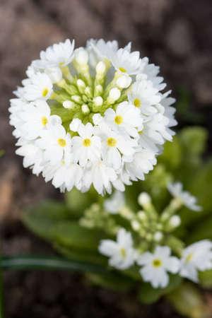 cowslip: Primula in closeup shot
