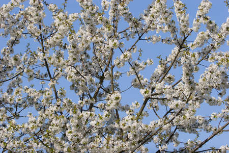 prunus cerasifera: Cherry plum or Myrobalan (Prunus cerasifera) blooming in the spring Stock Photo