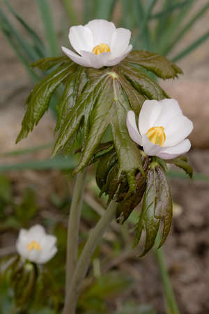 Himalayan mayapple, or Indian may apple (Podophyllum hexandrum)