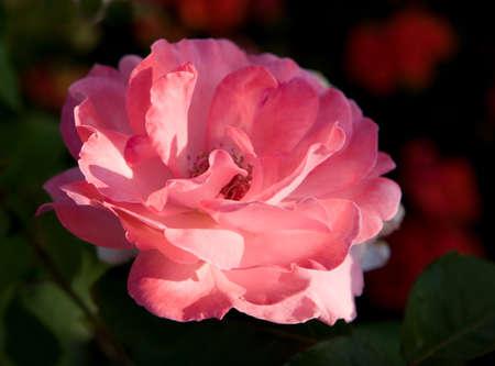 Pink rose in closeup shot  photo