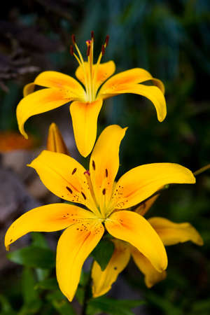 spoted: Yellow lily in the garden