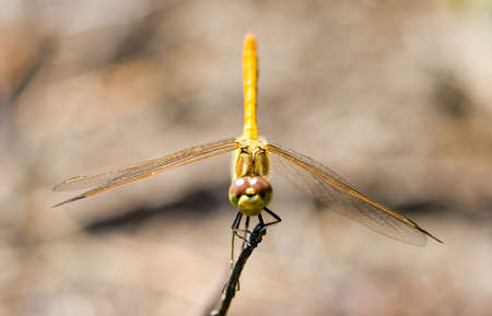 Red-veined darter (Sympetrum fonscolombii), female photo