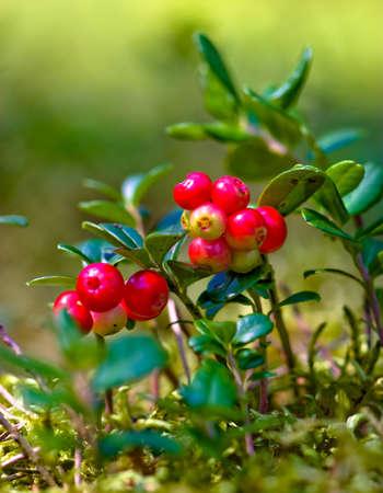 mountain cranberry: Lingonberries (Vaccinium vitis-idaea) Stock Photo