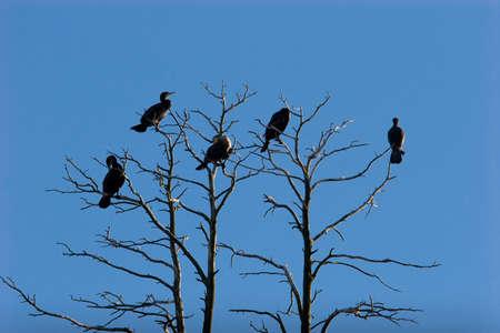 carbo: Great Cormorant (Phalacrocorax carbo)