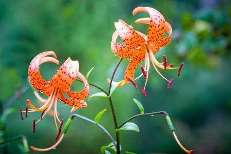 tiger lily: Tiger lily (Lilium lancifolium)