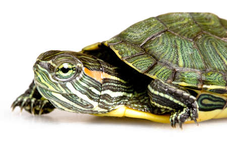 semi aquatic: Red-eared Slider (Trachemys scripta elegans) Stock Photo