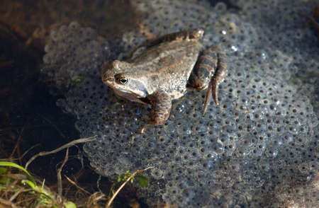 spawn: Common Frog (Rana temporaria) with eggs Stock Photo
