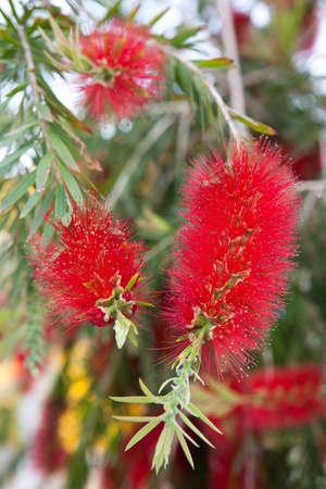 callistemon citrinus: Crimson Bottlebrush (Callistemon citrinus) Stock Photo