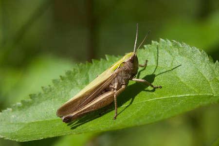 chorthippus: Meadow grasshopper (Chorthippus parallelus)