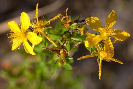 Medicinal plant St John's wort (Hypericum perforatum)