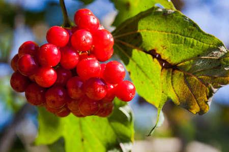 guelder: Guelder rose (Viburnum opulus) ripe red fruits Stock Photo