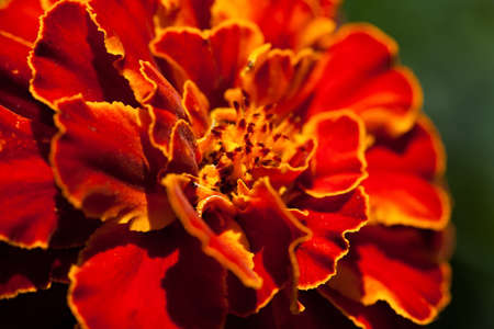 patula: French marigold (Tagetes patula) in the summer garden Stock Photo