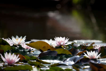 12 o'clock: Lilies in the pond with copyspace