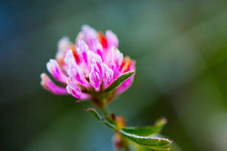 Red clover (Trifolium pratense) with hoarfrost in the late autumn