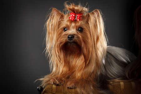 bow hair: Yorkshire Terrier, color canela, con el arco pelo rojo Foto de archivo