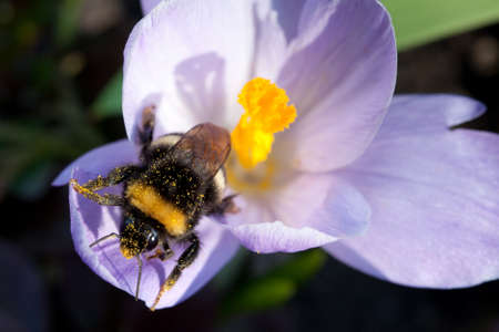 Bumblebee with pollen on the purple crocus photo