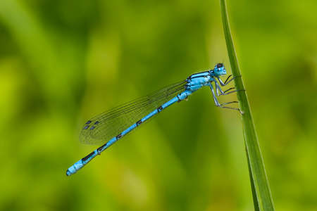 libellulidae: Common Blue Damselfly (Enallagma cyathigerum) on the grass Stock Photo