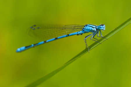 libellulidae: Common Blue Damselfly (Enallagma cyathigerum) on the grass, focus on the face Stock Photo