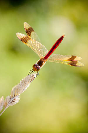 libellulidae: Banded Darter (Sympetrum pedemontanum) is a European species of dragonfly of the family Libellulidae.