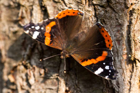 admiral: Red Admiral (Vanessa atalanta) butterfly on the bark of the tree