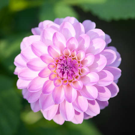 Pink Dhalia flower in the summer garden