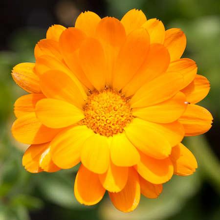pot marigold: Pot marigold (Calendula officinalis) in the garden
