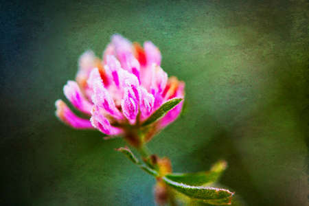 red clover: Red clover (Trifolium pratense) with hoarfrost in the late autumn