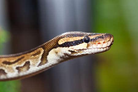 ball python: Closeup of royal python, or ball python (Python regius) Stock Photo